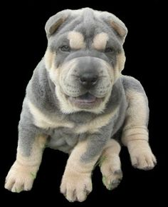 SHARPEI COLORS - Blue and Tan Pointed - OzelleLily Shar-Pei