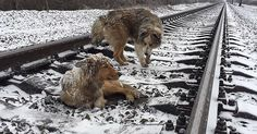 For two days the dogs were on the railway tracks, dicing with death as Lucy was too injured to move