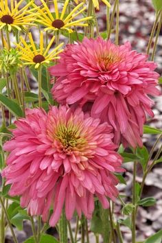 Add floral fireworks to your garden with new coneflowers that dazzle with exciting flower forms and a rainbow of petal colors.