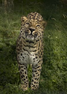 Beasts of Prey - tigersandcompany: Amur leopard (by Theresa...