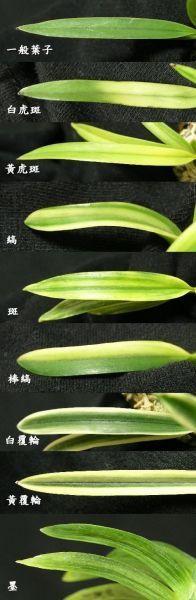 Neo variegation Unique Plants, Golden Star, Planting Flowers, Orchids, Plant Leaves, Orchid