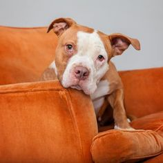 05/15/16  -   Regina Dog • Pit Bull Terrier • Adult • Female • Large Best Friends Pet Adoption & Spay Neuter Center Mission Hills, CA