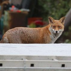 Nature Everyday 14 : Fox on a cold tin roof , looking for pigeons ! #nature #natureeveryday #londonwildlife #fox #britishwildlife #fantasticmrfox