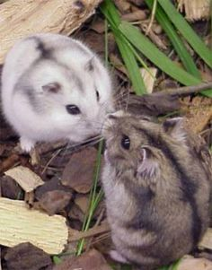 two Russian hamsters - my daughter has these exact two, very cute! Hamster Care, Baby Hamster, Cute Little Animals, Cute Funny Animals, Siberian Hamster, Winter White Hamster, Russian Dwarf Hamster, Funny Hamsters, Robo Dwarf Hamsters