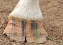 Preventing Chips and Cracks in Your Horse's Hooves