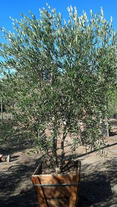 Fruitless Olive Trees Farm Nursery California