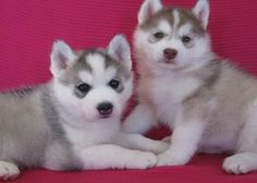 Cute Baby Puppies | cute siberian husky puppies for Sale in Bucyrus, Kansas Classifieds ...