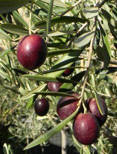 Mission olive fruit, ready to make a smooth buttery flavored oil Olive Fruit, Fruit And Veg, Fruits And Vegetables, All Fruits, Variety Of Fruits, Olives, Olive Oil Benefits, Olive Harvest, Specimen Trees