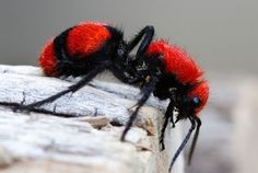 The #scarlet or #orange, #black, #white, #silver, or #gold 'Cow Killer' Velvet #Ant of North America. A walking #Wasp