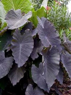 Elephant Ears Black Ruffle, Jensen Nursery and Garden Center, Winnipeg, manitoba Elephant Ear Plant, Elephant Ears, Buy Plants, Garden Plants, Pic Vert, Purple Elephant, Gothic Garden, Black Garden, Black Leaves