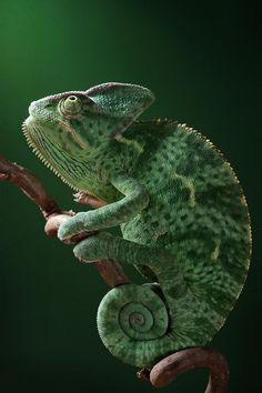 Not so furry, but sure cute, animals reptiles #animals #reptiles chameleon