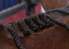 Before you start braiding a mane, youll want the pulled and even, clean and dry AQHA Video Photo.