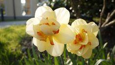 Html, Blog, Wellness, Medium, Rose, Flowers, Plants, Tulip Bulbs, Fruit Garden