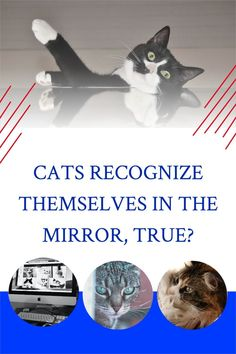 Cats recognize themselves in the mirror, yes or no? Cats have the most incredible reactions when it comes to their reflection in mirrors, but we do not know yet if they see themselves or if they think is another cat. Funny Cat Names, Funny Cats, Cat Info, Cat Behavior, Cat Facts, Domestic Cat, Love Pet, Animal Memes, Cat Breeds