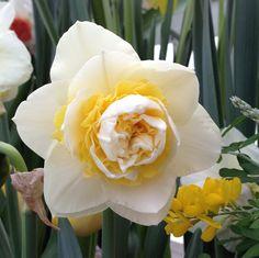 Double Narcissus 'Lingerie'