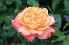 'Samaritan'   Hybrid Tea Rose. Harkness 1991