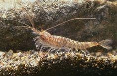 Anaspidacea - Crustáceo de água doce endêmico da Tasmânia.   /   Anaspidacea  - Endemic freshwater Crustacean from Tasmania.