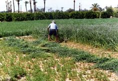 La importancia de la alfalfa es muy notable en la vida tradicional del campo, era un alimento primordial para animales de corral.