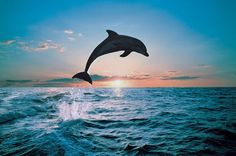 A wonderful image of dolphin jumping in the middle of the ocean in the evening sky. #dolphin#ocean