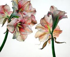 If traditional botanical drawings capture a flower's scientific qualities then Rosie Sanders's paintings celebrate its visceral beauty. Nature Drawing, Plant Drawing, Painting & Drawing, Art And Illustration, Botanical Flowers, Botanical Prints, Art Floral, Watercolor Flowers, Watercolor Art