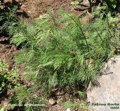 Abrótano (Artemísia abrotanum)