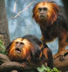 Golden Lion Tamarins, just another species that is going extinct cause people don't want to use condoms