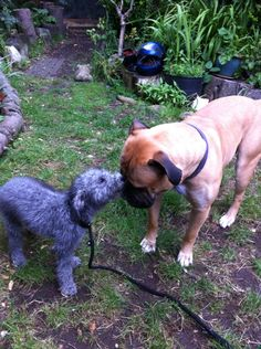Meena & gnarla...... Bedlington & mastiff ❤️