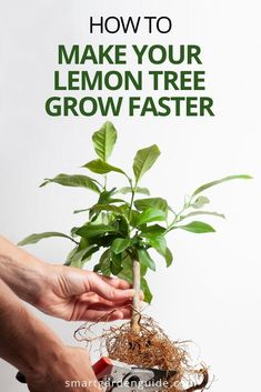 Is your lemon tree stubbornly refusing to grow? Find out why, and what you can do to help your lemon tree thrive again. I cover some of the most common lemon tree problems that can stunt growth Indoor Flowering Plants, Blooming Plants, Garden Plants, Growing Lemon Trees, Growing Tree, Indoor Gardening, Gardening Tips, Lemon Tree From Seed, How To Grow Lemon