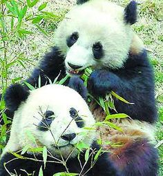 Giant Panda Habitat   giant panda habitat giant pandas le le ying ying an an and jia jia are ...