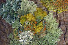 Lichen.      Susannah Blaxill.  Watercolor
