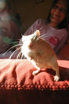 1000 images about gerbilles on pinterest gerbil hamsters and mice
