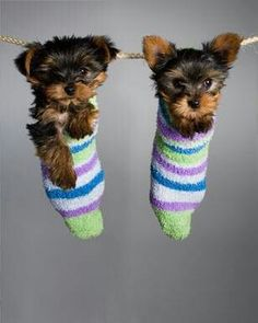 I love Yorkshire terriers!