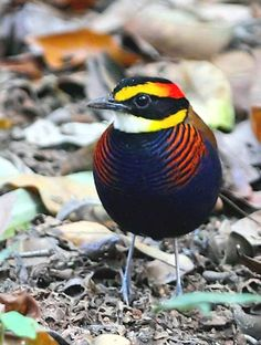 The brilliant Banded Pitta at Khao Nor Chuchi in Southern Thailand by Roger Wyatt.