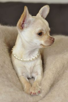 Cute Chihuahua Wearing Pearl Necklace