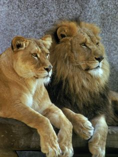 Picture of Male and Female Lions Resting by Richard Stacks - Photographic Print