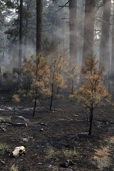 This photo provided by the U.S. Forest Service shows a burned through section at the Gila National Forest blaze, on Friday June 1, 2012. Fire officials said Friday, that the massive Gila Wilderness blaze is now nearly 217,000 acres. That's more than 25,000 acres larger than than the day before. (AP Photo/U.S. Forest Service, Brandon Oberhardt)