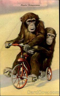 Playfool Chimpanzees St. Louis Missouri Monkeys