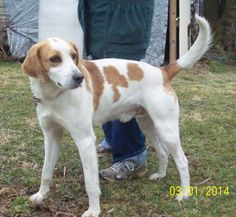 Meet DODGER a Petfinder adoptable Hound Dog | WARREN, RI | Hello there, My name is DODGER, I am a hound mix that is estimated at 3 yrs of age and weigh about...