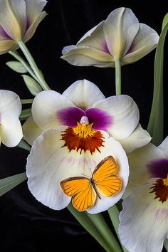 Miltonia Orchid With Orange Butterfly