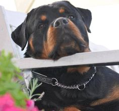 """See our website for additional information on """"rottweiler pups"""". It is an exceptional area for more information. Dog Training Methods, Basic Dog Training, Training Dogs, Rottweiler Love, Rottweiler Puppies, German Rottweiler, Puppy Obedience Training, Positive Dog Training, Best Puppies"""