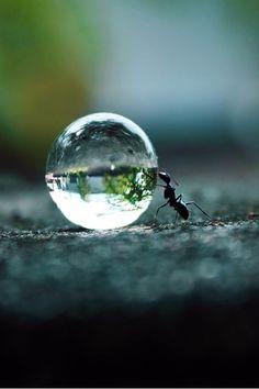 Die Ameise rollt einen Wassertropfen.