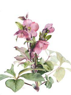 "41 x 31 cm unframed<br /><br>Helleborus orientalis ""Anna's Red""<br/><br>Sold</br>"
