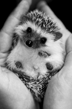Hedgehog baby. Gosh I want one for Christmas!!