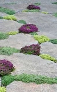 Creeping Plants For Use Between Stones & Pavers