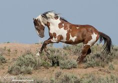 Picasso Leaps  Fine Art Wild Horse Photograph by Carol Walker www.LivingImagesCJW.com
