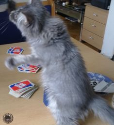 Nero is watching my cards I Card, Mystery, Cats, Animals, Maine Coon Cats, Arts And Crafts, Gatos, Animales, Animaux