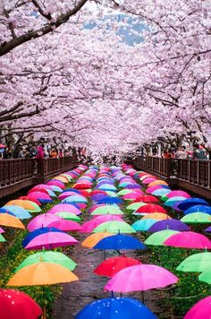 Korea Cherry Blossom festival by Jessica W. - The colourful cherry blossom festival held in Jinhae, South Korea is a great place to relax and enjoy the flowers. Taken on the board walks of Yeojwacheon stream.