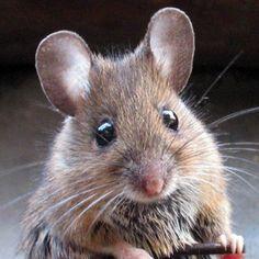 #Des souris permettent de comprendre les causes du bégaiement - Actu Santé .net: Actu Santé .net Des souris permettent de comprendre les…