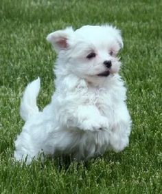 small dog breeds that don't shed | dogs that don t shed http pomskypuppiespics blogspot com 2013 02 dogs ...