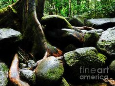 Rainforest Floor in Mossman Gorge. A collection of fine art photography images from Far North Queensland's Wet Tropics and Daintree. A UNESCO World Heritage Listed site. Add a splash of the TROPICS and SOOTHING WATER. Visit my photo gallery and get a beautiful Fine Art Print, Canvas Print, Metal or Acrylic Print OR Home Decor products. 30 days money back guarantee on every purchase so don't hesitate to add some WILD TROPICS in your home.
